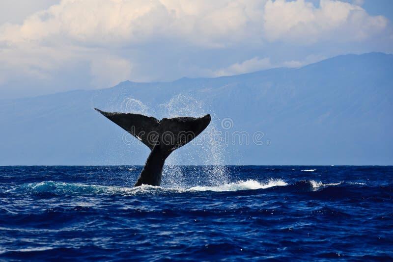De walvisstaart van de gebochelde stock foto