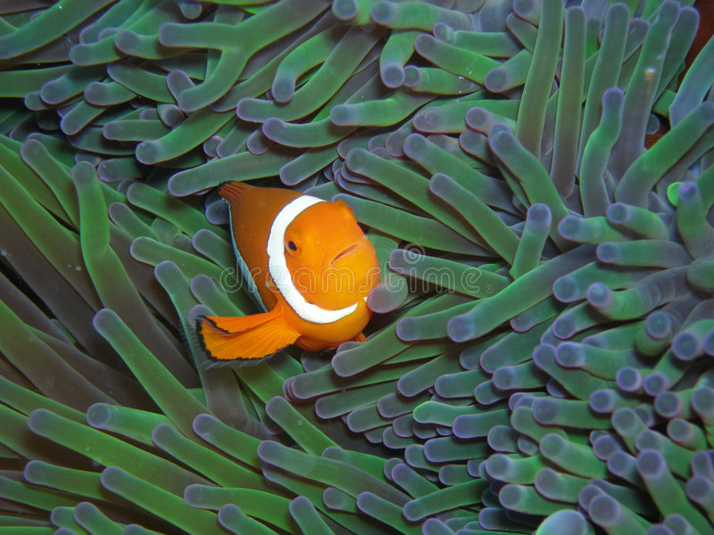 De Ware Clown Anemonefish van Nemo stock foto's