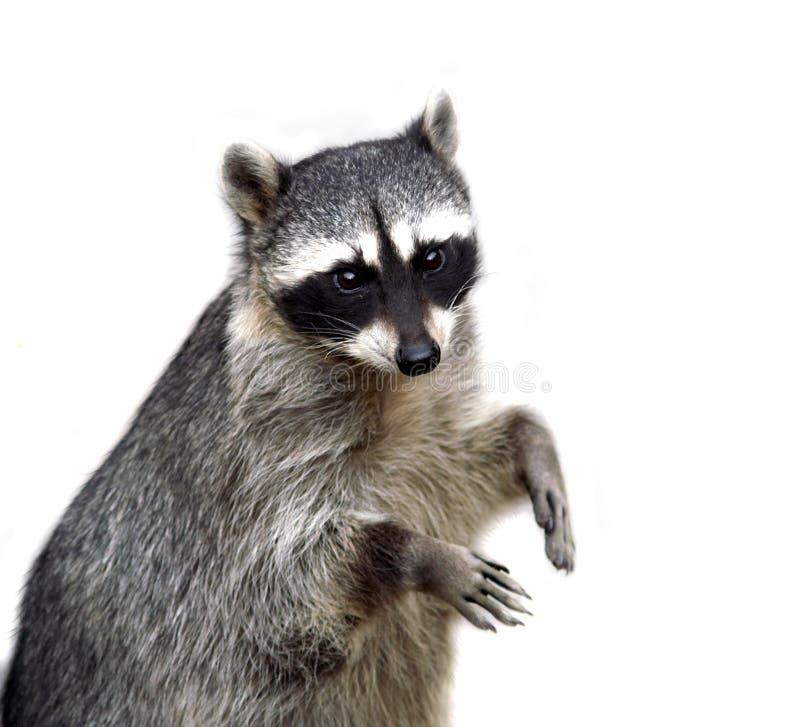 De wasbeer die op wit wordt geïsoleerdn stock fotografie
