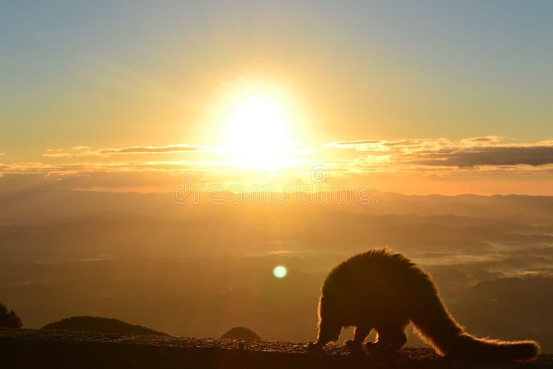 De wasbeer in het Waarnemingscentrum van Serra doet Rio doet Rastro stock afbeelding