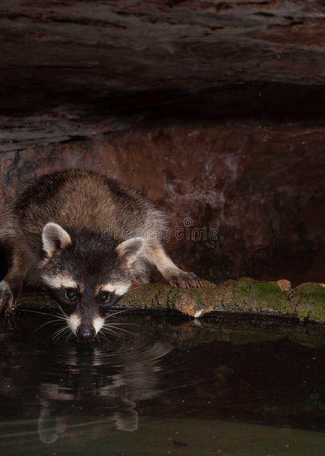 De wasbeer krijgt een drank van water van een mos behandelde tank onder een zandsteenoverhangend gedeelte Het water wijst op het  royalty-vrije stock foto
