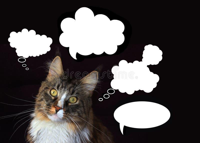 de wasbeerkat van Maine met wolken van gedachten op een zwarte achtergrond stock foto's