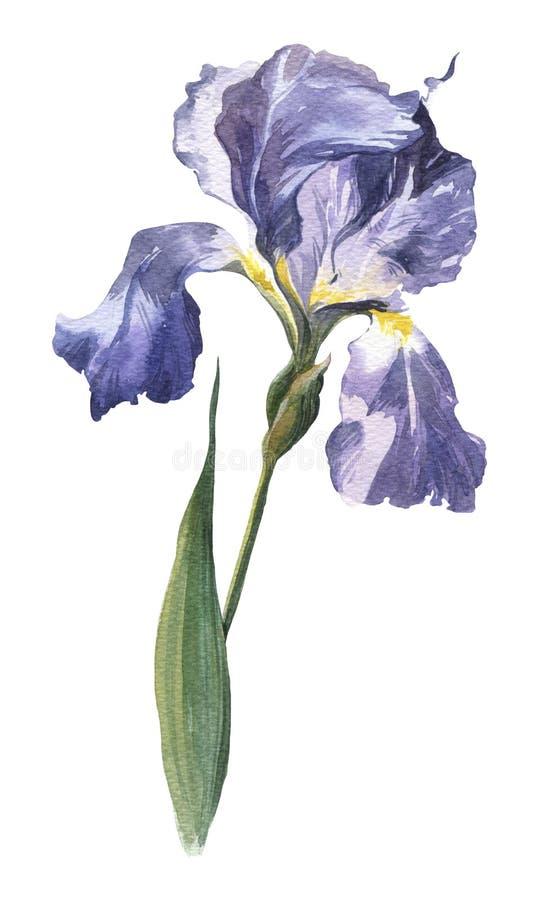 De Watercolour hand-drawn lente en de bloem van de de zomeriris royalty-vrije stock afbeelding