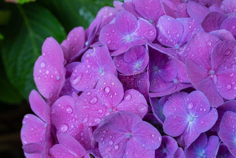 De waterdalingen van de bloemblaadjes van de hydrangea hortensiabloem sluiten omhoog stock afbeeldingen