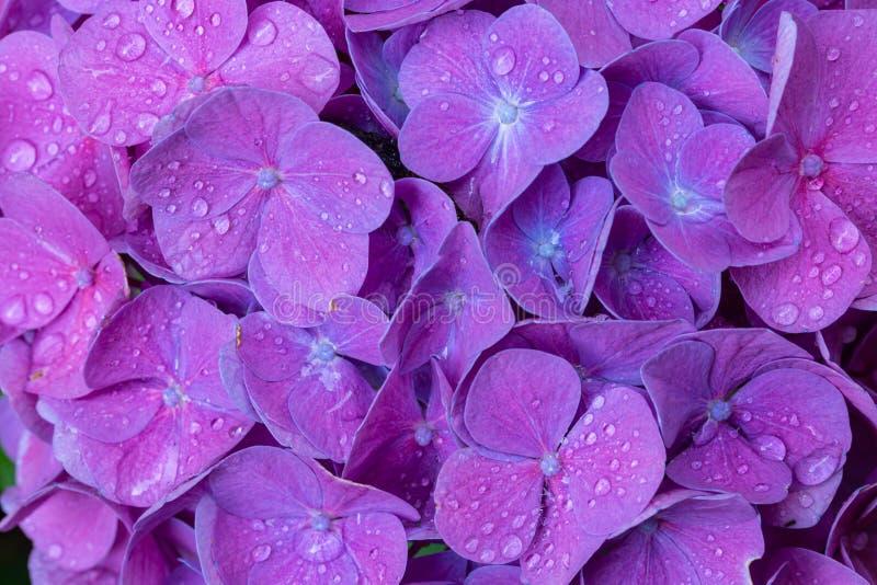De waterdalingen van de bloemblaadjes van de hydrangea hortensiabloem sluiten omhoog royalty-vrije stock afbeelding