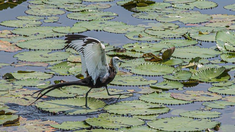 De waterfee spreidt vleugels uit om op groene ruimte te wijzen stock fotografie