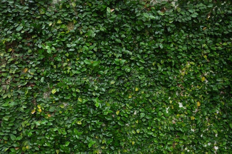 De waterige kruipende achtergrond van de fig.wijnstok stock afbeeldingen