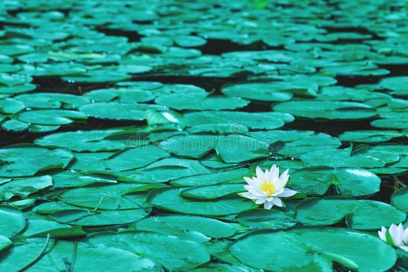 De waterlelie bloeit bloesems of witte lotusbloem die op vijver bloeien bea stock fotografie