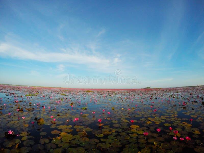De waterlelie groeit in het moeras royalty-vrije stock afbeelding