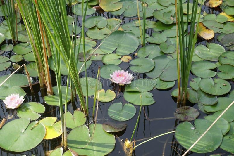 De waterlelie op een kleine vijver met doorbladert stock afbeelding