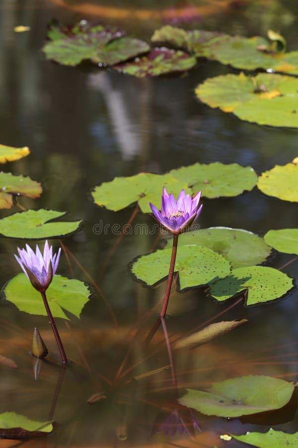 De waterlelies in Siem oogsten royalty-vrije stock afbeeldingen