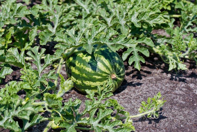 De Watermeloen groeit op een gebied stock fotografie