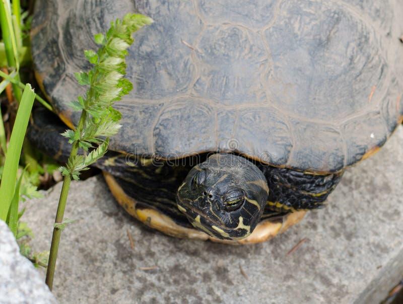 De waterschildpad die een rust op een steen hebben royalty-vrije stock foto