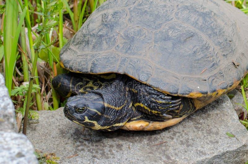 De waterschildpad ligt op een steen royalty-vrije stock afbeeldingen