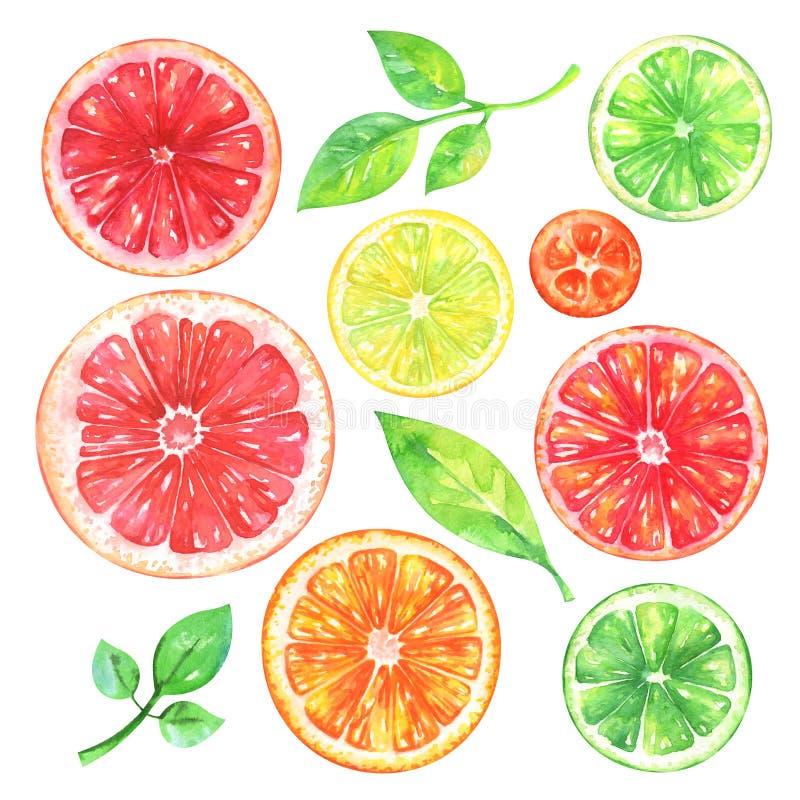 De waterverfgrapefruit, sinaasappel, citroen, kumquat, kalk en groen doorbladert op witte achtergrond vector illustratie
