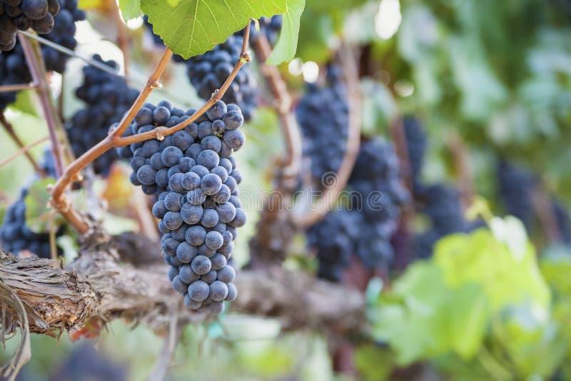 De weelderige, Rijpe Druiven van de Wijn op de Wijnstok stock foto's