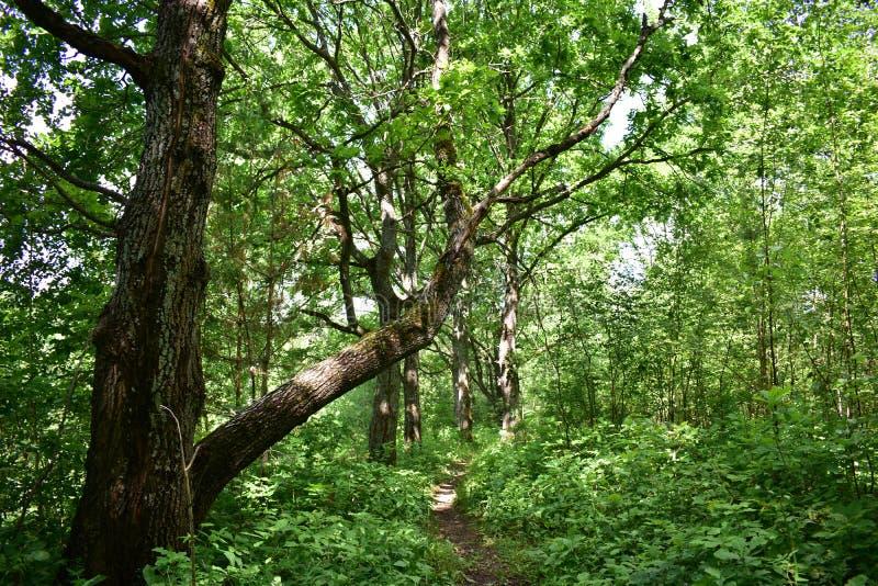 De weg in het eiken bosje kweekt mossen, korstmossen op de bomen stock afbeeldingen