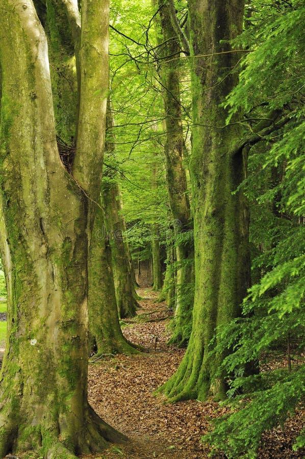 De Weg van de beukboom stock afbeeldingen