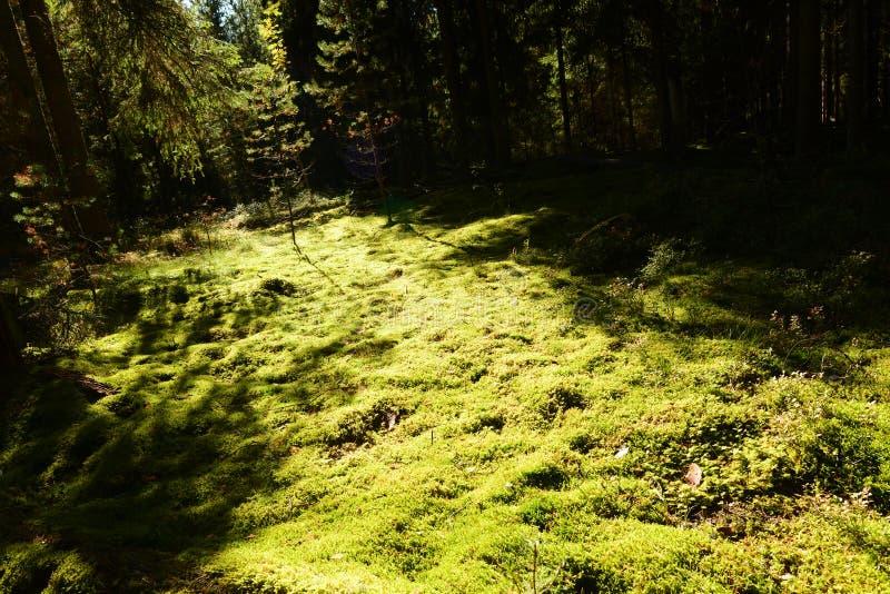 De weg van de de herfstzon op de bosgronddekking van mos stock afbeelding