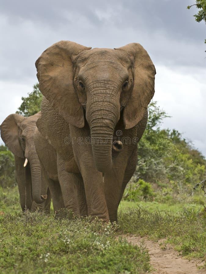 De weg van de olifant stock afbeeldingen