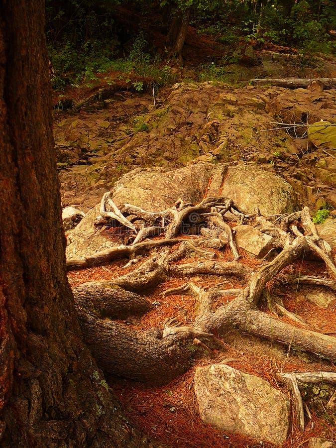 De Weg van de Wortel van de boom stock fotografie