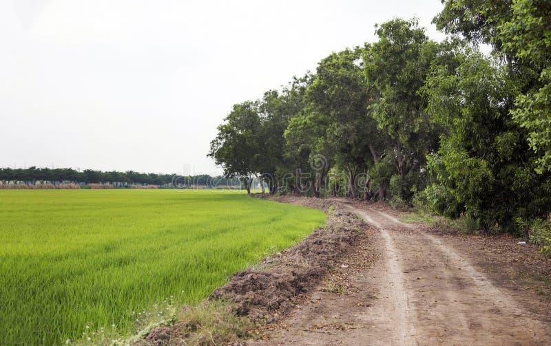 De wegmanier van de landschapsgrond met padieveld en grote boom stock fotografie