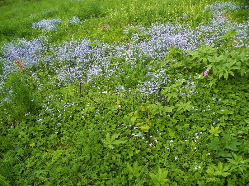 de weide met flarden van blauw vergeet me niet bloemen stock foto's