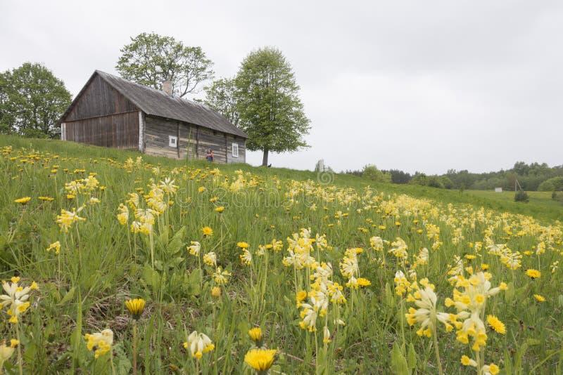 De weide van het land in de lentetijd met gele sleutelbloemen royalty-vrije stock afbeeldingen