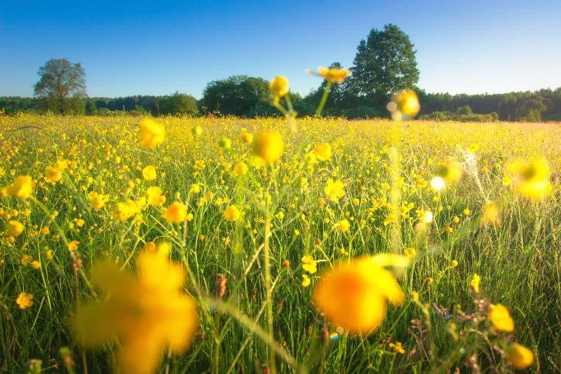 De weide van de zomer Gele bloemen op landelijk gebied op zonnige duidelijke dag Weideachtergrond Toneelochtendlandschap royalty-vrije stock foto's