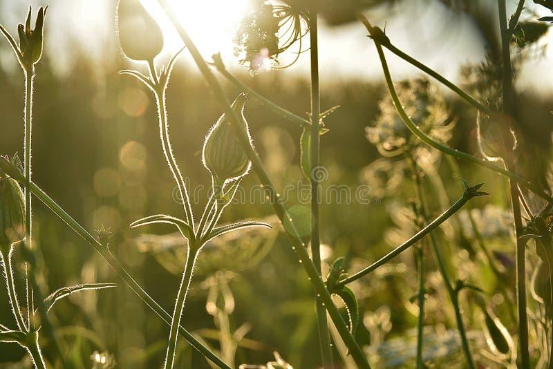 de weideinstallaties van zonlichtillumines, duizendblad royalty-vrije stock foto