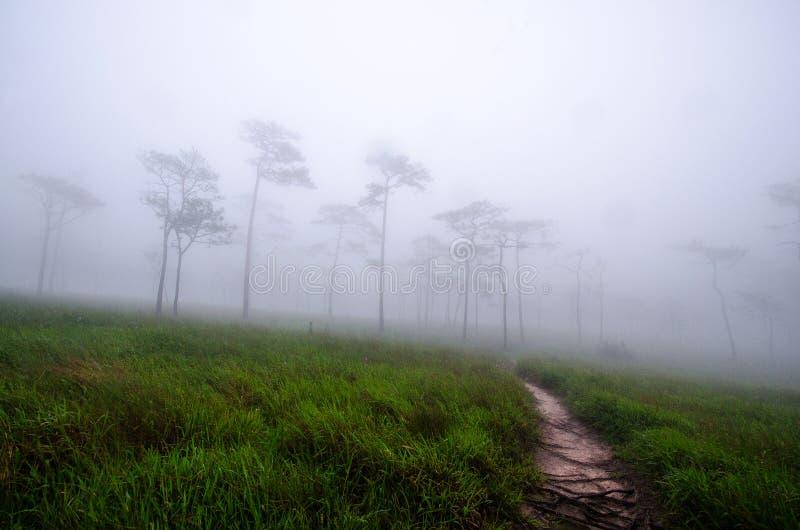 De weiden en de pijnboombossen in het regenachtige seizoen zijn behandeld met FO stock afbeelding