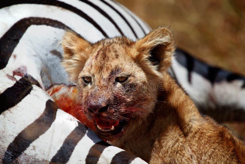 De welp die van de leeuw een zebra, Masai Mara, Kenia eten stock foto