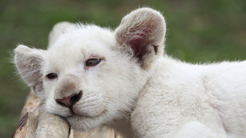 De welp van de albinoleeuw royalty-vrije stock foto