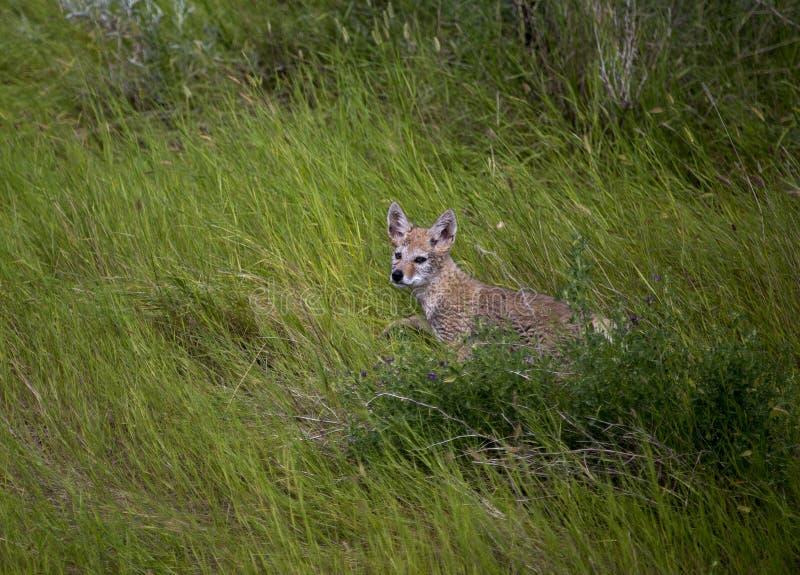 De Welp van de babycoyote stock fotografie