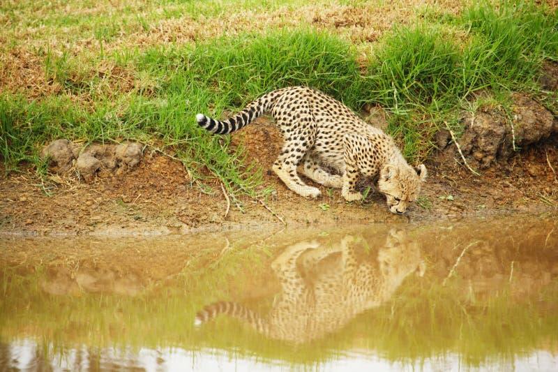 De welp van de jachtluipaard royalty-vrije stock afbeelding