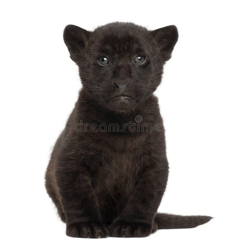 De welp van de jaguar, 2 maanden oud, Panthera onca, het zitten royalty-vrije stock afbeeldingen