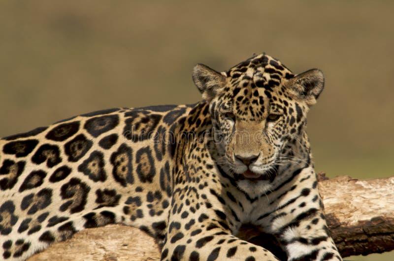 De Welp van de jaguar royalty-vrije stock afbeelding