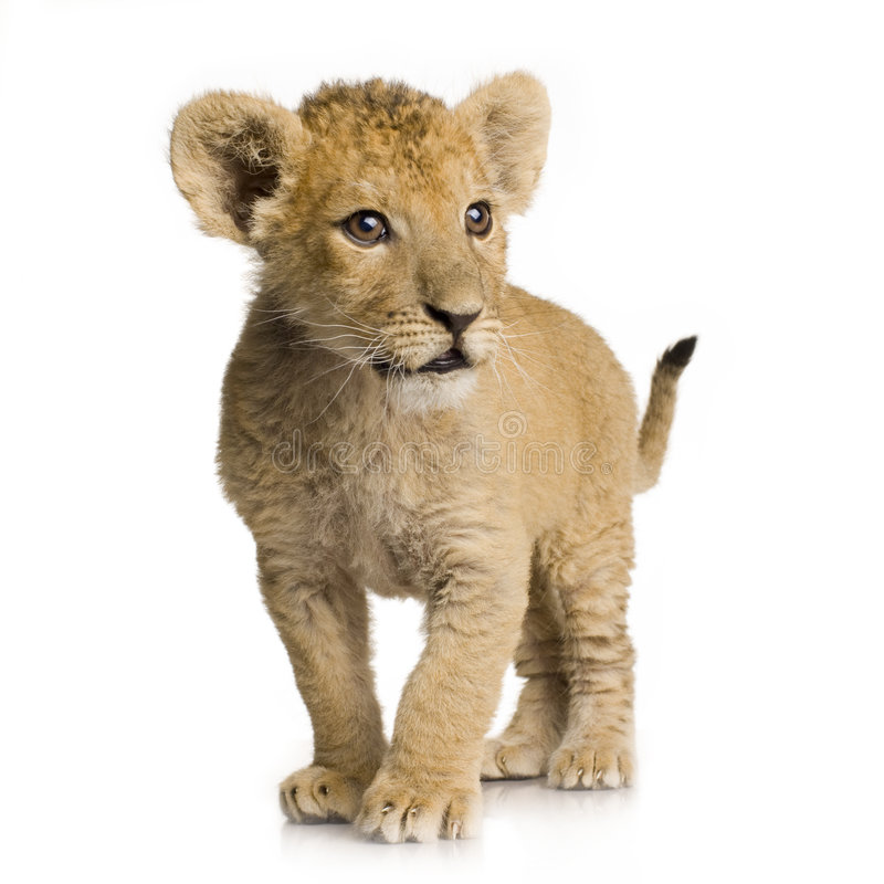De Welp van de leeuw (3 maanden) stock afbeeldingen