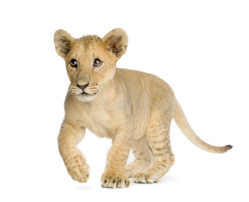 De Welp van de leeuw (4 maanden) stock fotografie