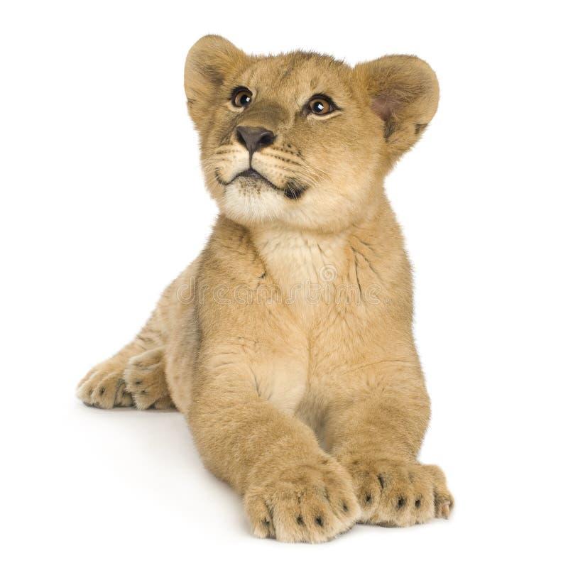 De Welp van de leeuw (5 maanden) royalty-vrije stock afbeeldingen