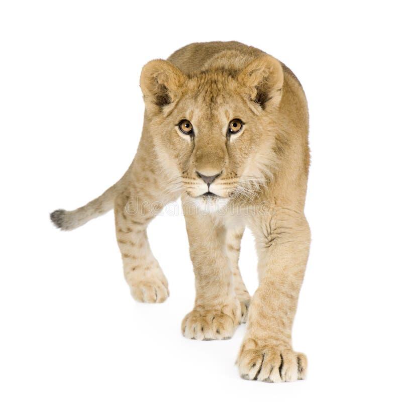 De welp van de leeuw (8 maanden) stock afbeelding