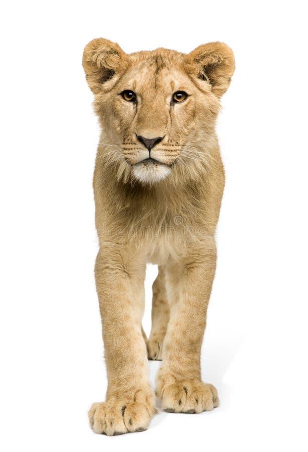 De Welp van de leeuw (9 maanden) royalty-vrije stock foto's