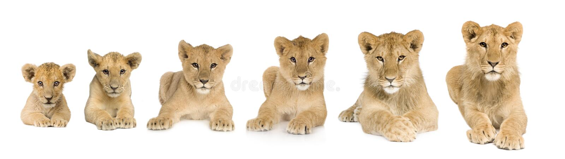 De welp van de leeuw het groeien van 3 tot 9 maanden voor a royalty-vrije stock afbeeldingen