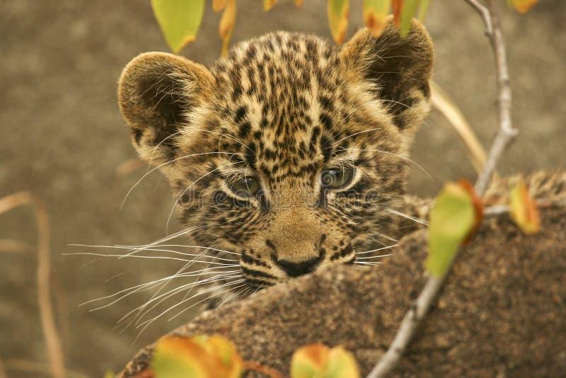 De welp van de luipaard royalty-vrije stock fotografie