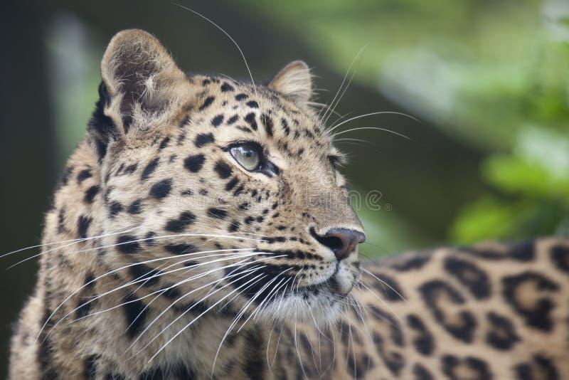 De Welp van de Luipaard van Amur stock fotografie