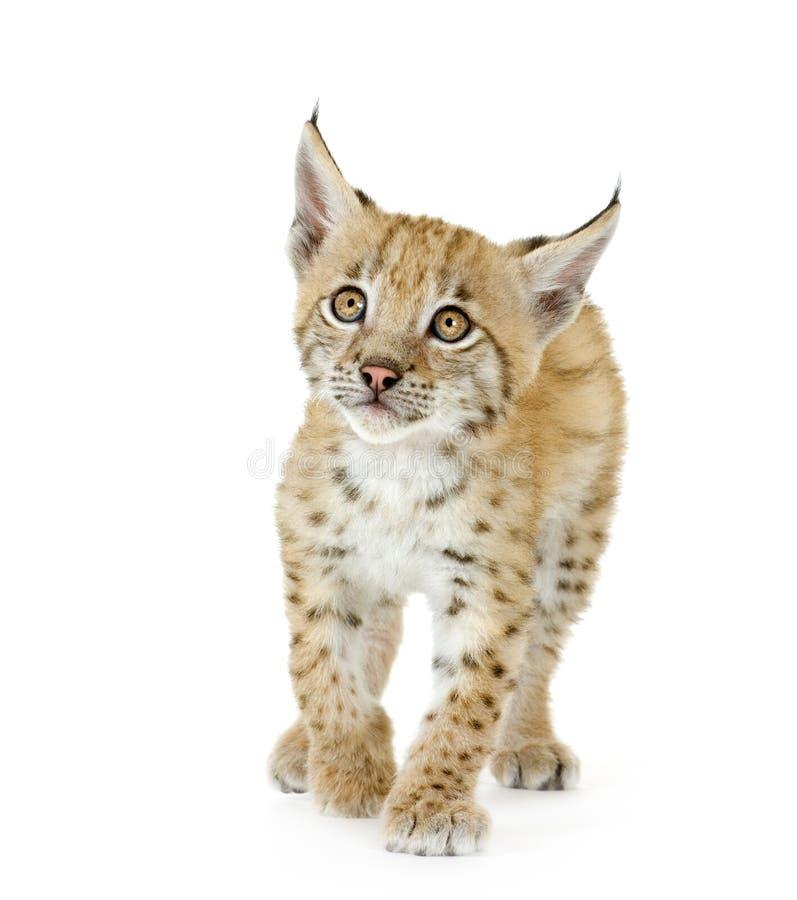 De welp van de lynx (2 mounths) stock foto