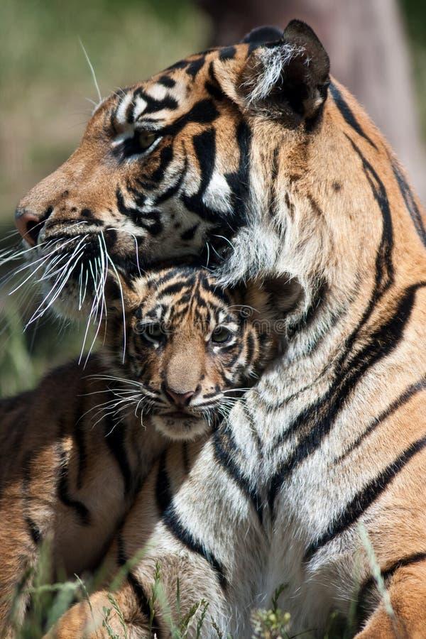 De Welp van de tijger royalty-vrije stock fotografie