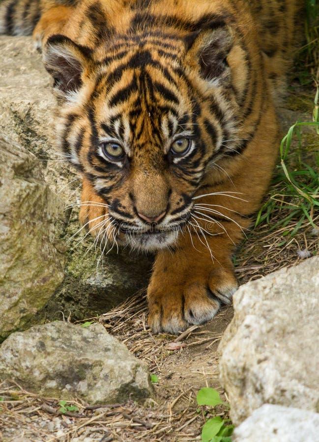 De Welp van de Tijger van Sumatran royalty-vrije stock foto's