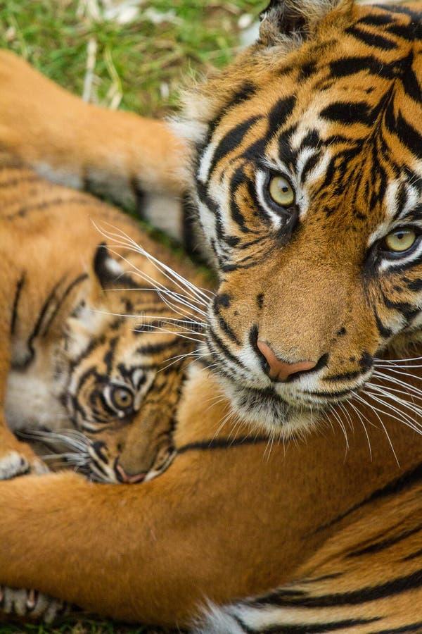 De Welp van de Tijger van Sumatran stock foto