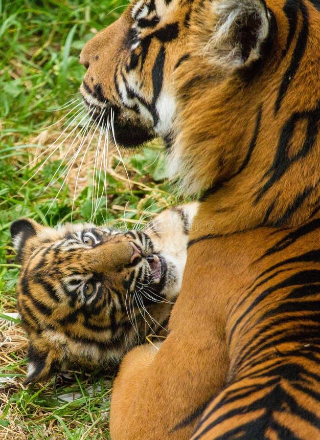 De Welp van de Tijger van Sumatran royalty-vrije stock foto